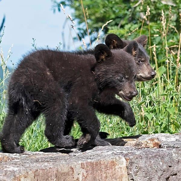 2 Cubs On Wall-black bear-janetogren.com