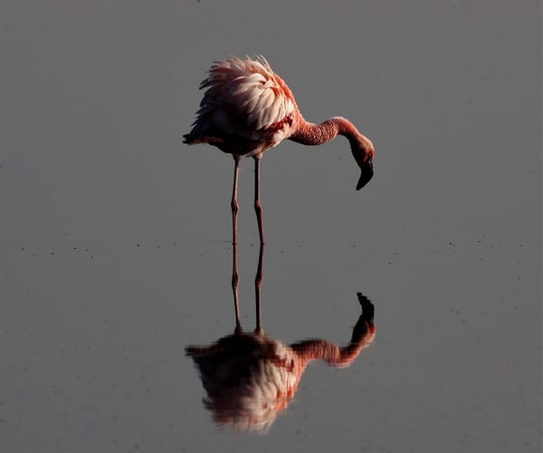 Flamingo Reflections Art | DocSaundersPhotography