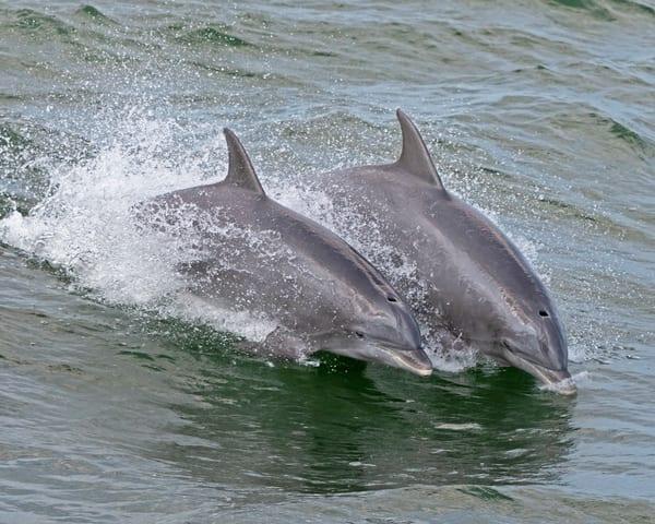 Synchronized  Dolphins-dolphin-janetogren.com