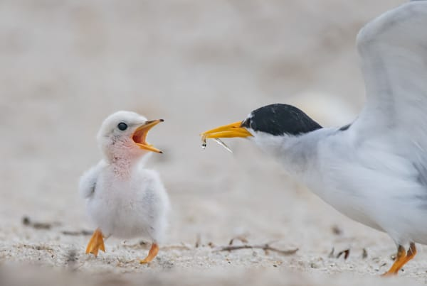 Least Tern Feeding A Chick Photography Art | Sarah E. Devlin Photography