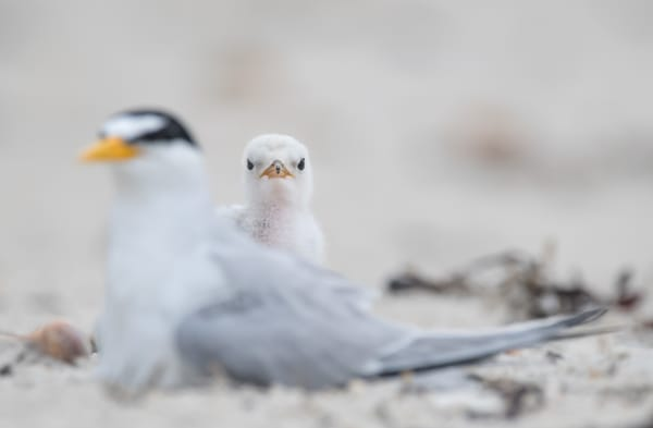 Least Tern With Chick Photography Art | Sarah E. Devlin Photography