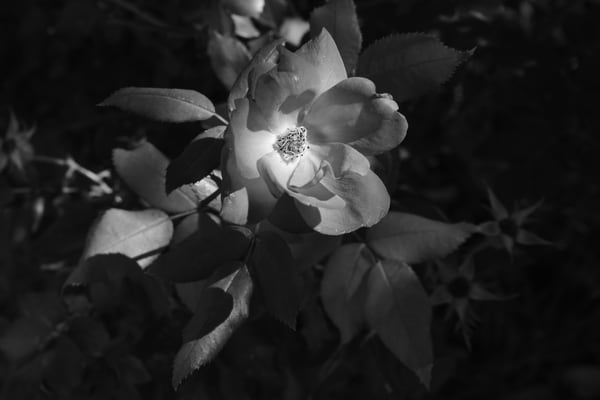 Ashley Caldwell - photography - black and white - nature - flowers - Lights