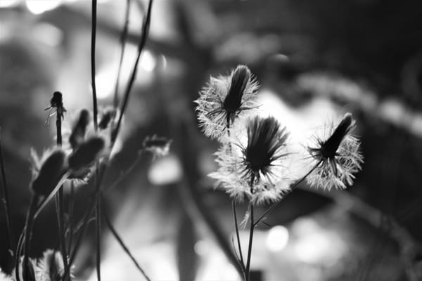 Ashley Caldwell - photography - nature - flowers - black and white - Dandelion at Night