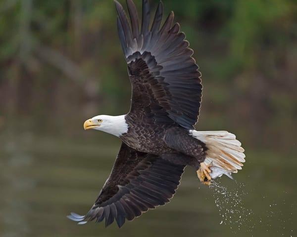 Eagle's Breakfast-Eagle-janetogren.com