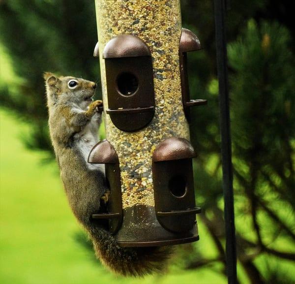 Bird Feeder Squirrel 5 Art | DocSaundersPhotography