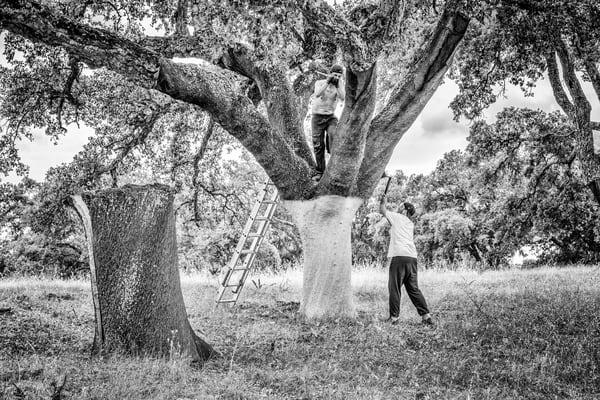 Cork Harvesting #3 Photography Art   Roberto Vámos Photography