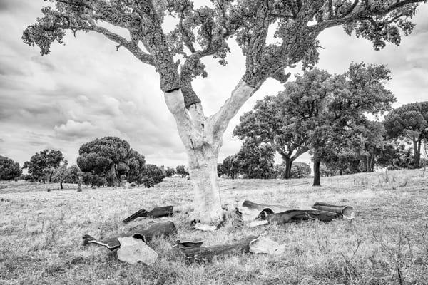 Cork Harvesting #4 Photography Art   Roberto Vámos Photography