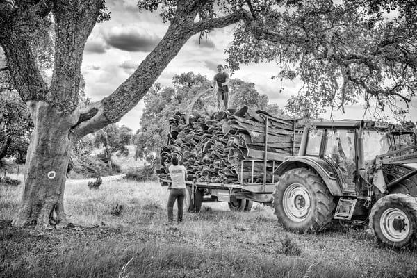 Cork Harvesting #7 Photography Art   Roberto Vámos Photography