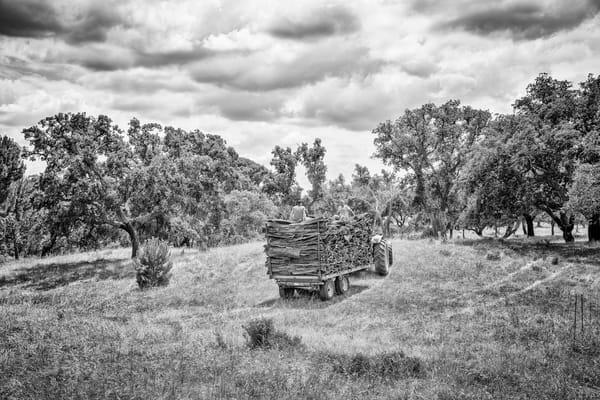 Cork Harvesting #8 Photography Art   Roberto Vámos Photography