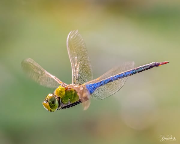 Green Darner Dragonfly Cruising