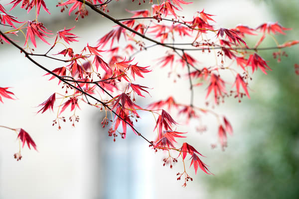 Japanese Maple Photography Art | Quiet Heart Images, LLC