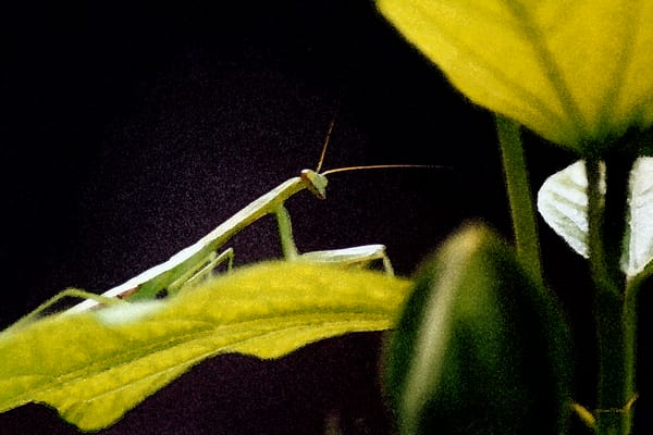 Praying Mantis on Leaf - Debra Cortese nature art