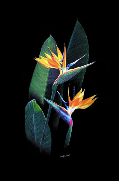 The Bird Of Paradise is a color pencil painting by Greg V Smith of the tropical plant and flower,