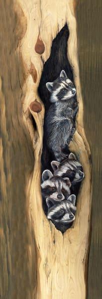 raccoon coon wildlife animal