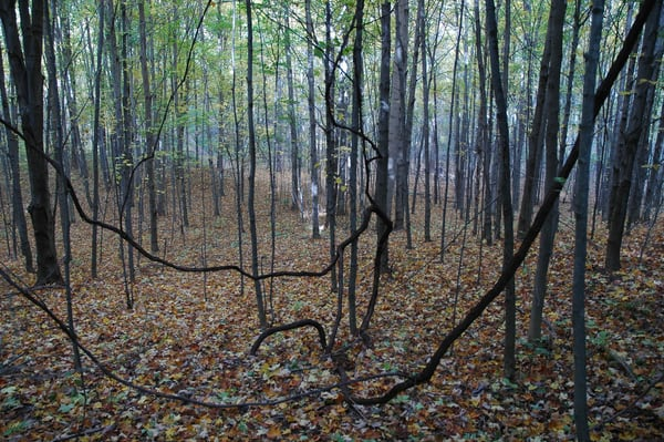 'woods And Vines' Art | Cera Arts