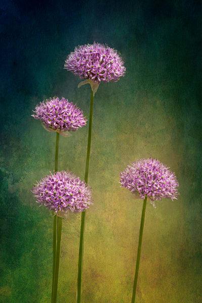 Allium Photography Art | Quiet Heart Images, LLC