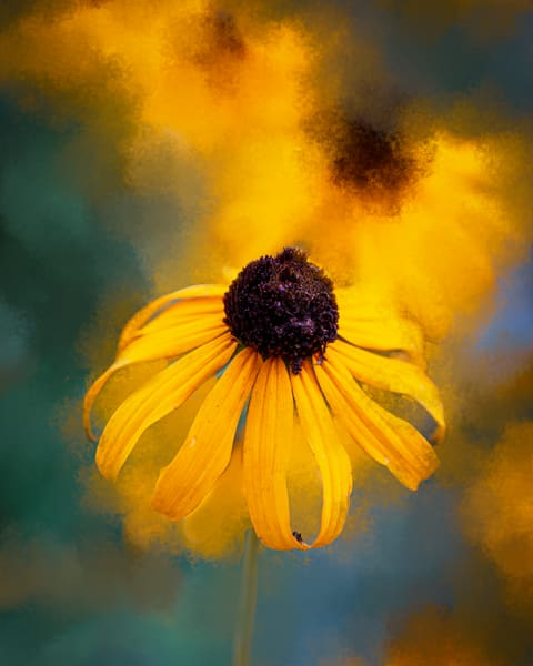 Black Eyed Susan Photography Art | Quiet Heart Images, LLC