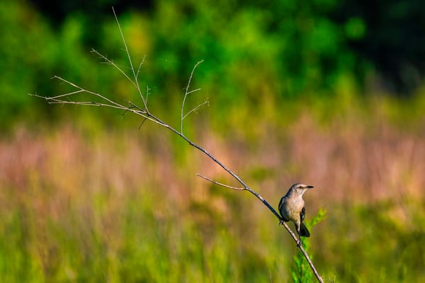 Balanced - Northern mockingbird fine-art photography prints