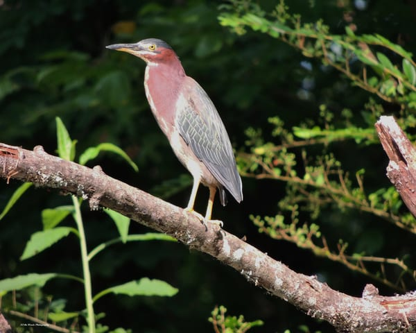 Green Heron Photography Art | N2 the Woods Photography - Nature and Wildlife Artwork