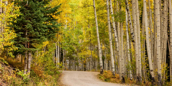 A Road Through The Aspens Semi Panorama Photography Art | Ken Smith Gallery