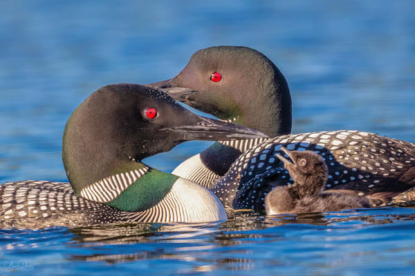The Loon Family