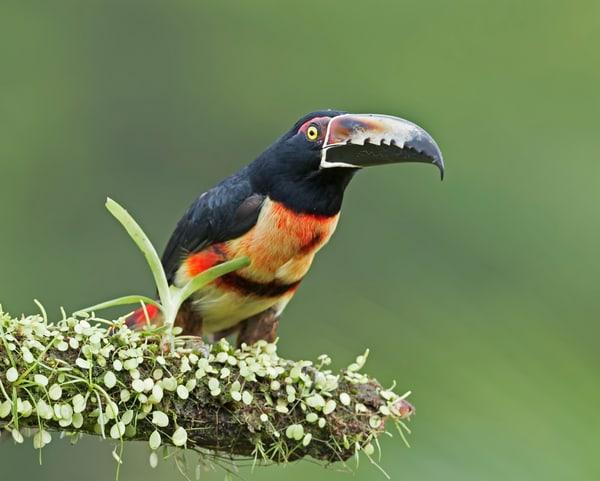 Collared Aracari-Aracari-janetogren.com