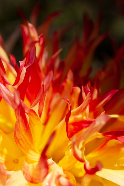 Dahlia Fire Photography Art | Christopher Grey Studios