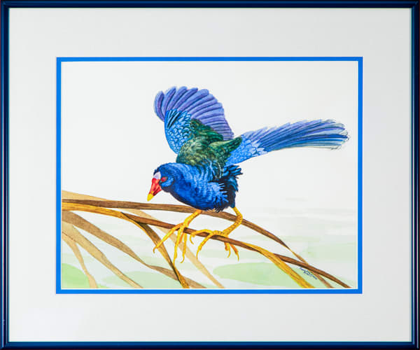 Purple Gallinule Photography Art | Drew Smith Photography, LLC