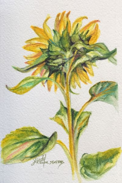 Lindy Cook Severns Art | Shy Sunflower, watercolor