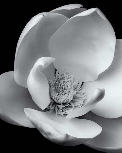 Magnolia Bloom Art | James Patrick Pommerening Photography