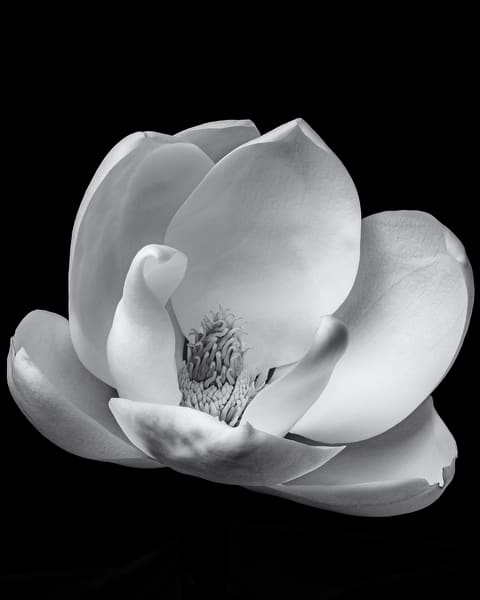 Magnolia Bloom 2 Art | James Patrick Pommerening Photography