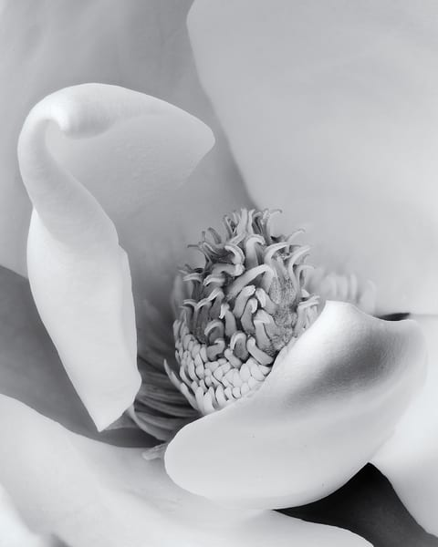 Magnolia Pistil 2 Art | James Patrick Pommerening Photography