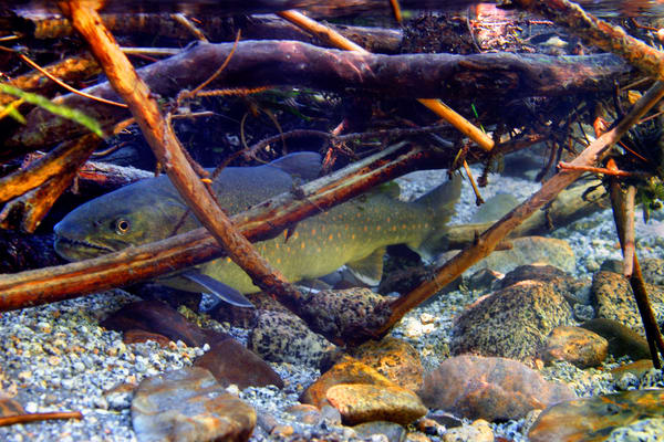 Bull Trout # 0009 Photography Art | Mary Edwards Photography