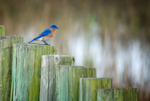 Eastern Bluebird on Wooden Pile Wall