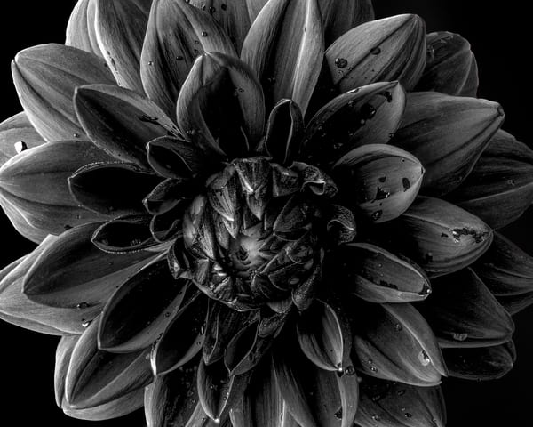 Black Dahlia Photography Art | James Patrick Pommerening Photography