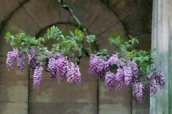 Wisteria And Arch Photography Art | Quiet Heart Images, LLC