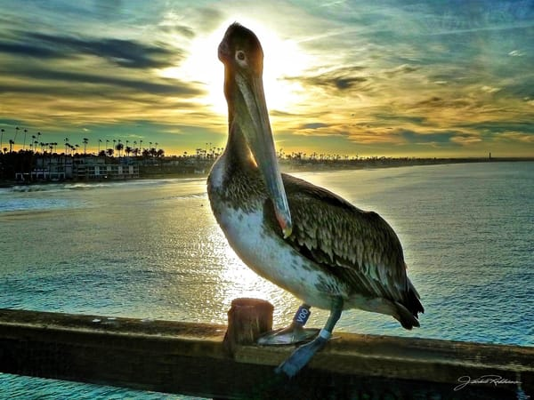 pelican sunrise on the pier wating for fish photographic print jackie robbins studio summer sale