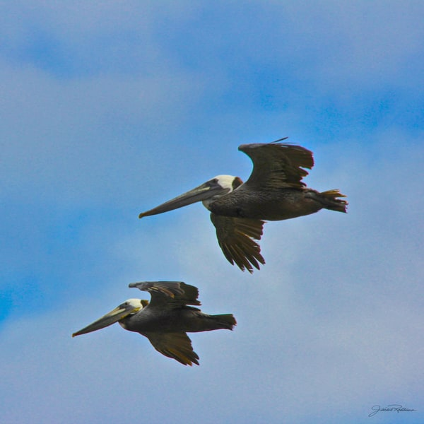 two pelicans fly in perfect harmony photographic print on canvas jackierobbins studio summer sale