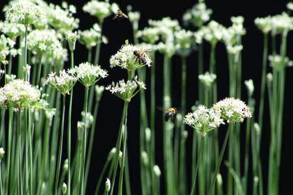 Bees Allium Onion Flower