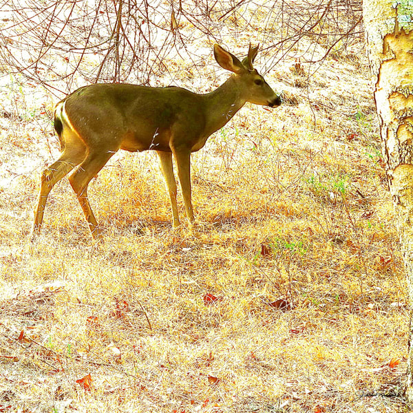 mule deer foraging brush eden photographic print on canvas jackie robbins studio summer sale