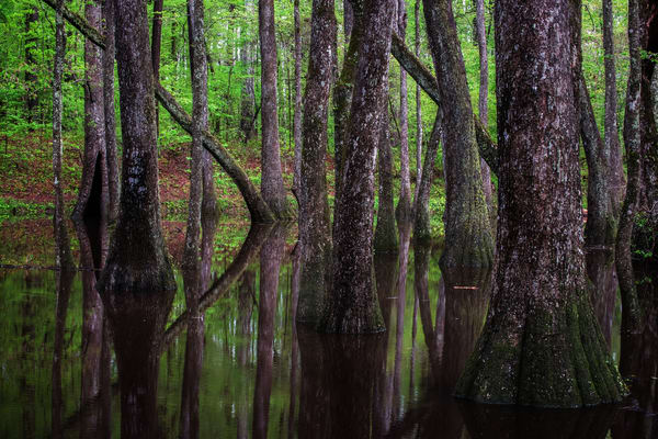 Cypress Swamp Photography Art | Ken Smith Gallery