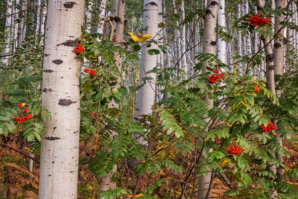 Aspens And Berries Photography Art | Ken Smith Gallery
