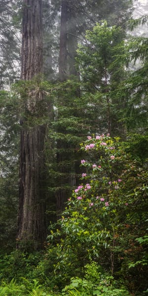 Redwoods And Rhodes Photography Art | Ken Smith Gallery