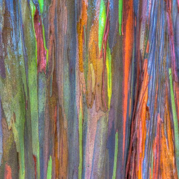 Rainbow Eucalyptus 1 Photography Art | LightSea Images LLC