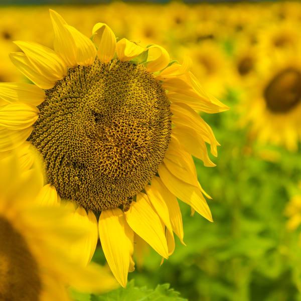 Sunflower Fields Forever Photography Art | LightSea Images LLC