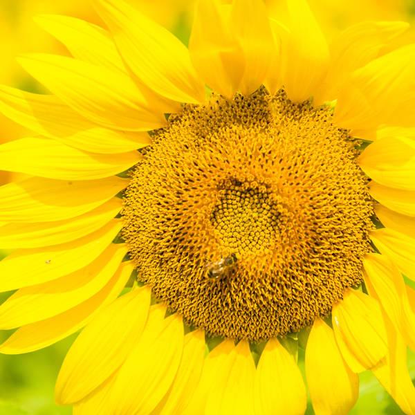 Sunflower Fields Forever 3 Photography Art | LightSea Images LLC