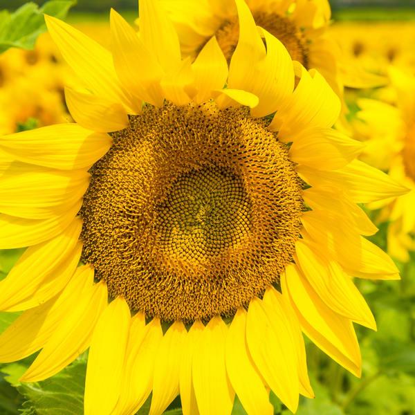 Sunflower Fields Forever 2 Photography Art | LightSea Images LLC