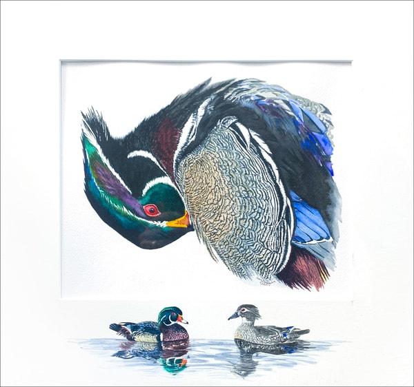 Preening Wood Duck Photography Art | Drew Smith Photography, LLC