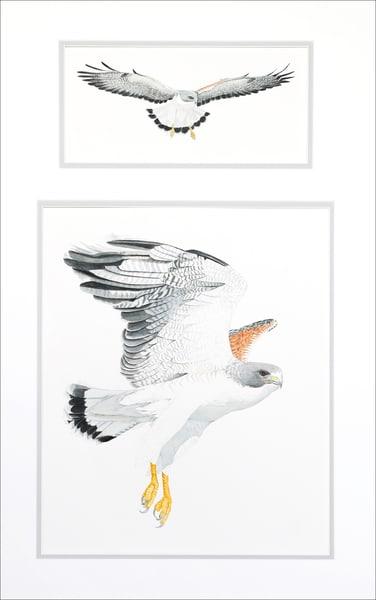 White Tailed Hawk Photography Art | Drew Smith Photography, LLC