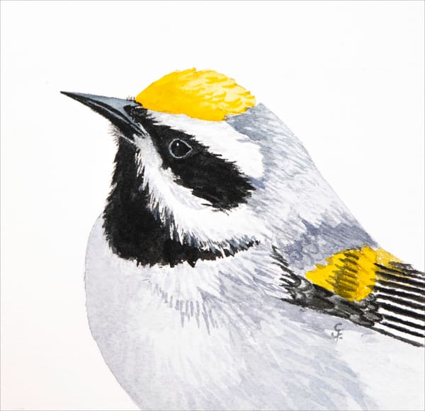 Golden Winged Warbler Photography Art | Drew Smith Photography, LLC